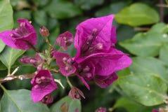 Flores púrpuras de la buganvilla Imagen de archivo