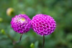 Flores púrpuras de la dalia Foto de archivo libre de regalías