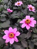 Flores púrpuras de la dalia del mignon con las hojas negras Foto de archivo libre de regalías
