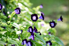 Flores púrpuras de la espoleta Fotografía de archivo