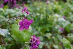 Flores púrpuras de la honradez cogidas en la lluvia Foto de archivo libre de regalías