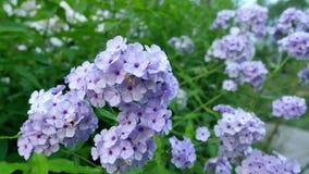 Flores púrpuras de la hortensia en el jardín Imagen de archivo libre de regalías