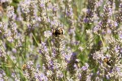 Flores púrpuras de la lavanda con la abeja y el abejorro Foto de archivo libre de regalías