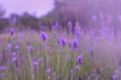 Flores púrpuras de la lavanda en el campo Fotos de archivo