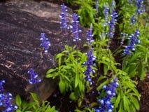 Flores púrpuras de la lavanda en el jardín Fotos de archivo libres de regalías