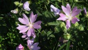 Flores púrpuras de la malva del prado en hierba verde metrajes