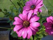 Flores púrpuras de la margarita Fotografía de archivo libre de regalías