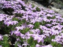 Flores púrpuras de la montaña Fotos de archivo libres de regalías