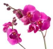 Flores púrpuras de la orquídea Fotos de archivo