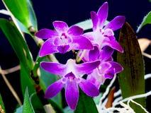 Flores púrpuras de la orquídea Fotos de archivo libres de regalías