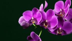Flores púrpuras de la orquídea contra fondo negro con el movimiento de la cámara metrajes