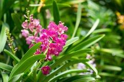 Flores púrpuras de la orquídea de Beautuful con los brotes Fotografía de archivo libre de regalías