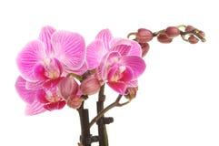 Flores púrpuras de la orquídea de polilla Imagen de archivo libre de regalías