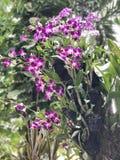 Flores púrpuras de la orquídea del dendrobium Foto de archivo libre de regalías