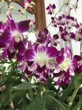 Flores púrpuras de la orquídea del dendrobium Fotografía de archivo libre de regalías