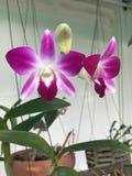 Flores púrpuras de la orquídea del dendrobium Imagen de archivo libre de regalías