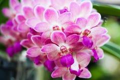 Flores púrpuras de la orquídea del primer en jardín Imagen de archivo