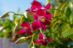 Flores púrpuras de la orquídea en Tailandia con el fondo verde natural imagenes de archivo