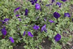 Flores púrpuras de la petunia Fotografía de archivo libre de regalías