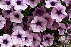 Flores púrpuras de la petunia Imagenes de archivo