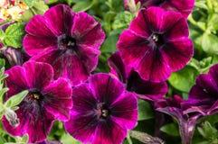 Flores púrpuras de la petunia con las rayas Foto de archivo libre de regalías