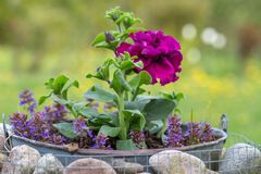 Flores púrpuras de la petunia de Terry en el jardín en un día soleado en un gabion decorativo con las piedras en estilo rústico fotos de archivo