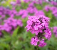 Flores púrpuras de la primavera Foto de archivo libre de regalías