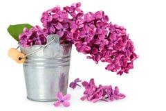Flores púrpuras de la primavera de la lila Imagen de archivo libre de regalías
