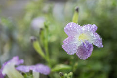 Flores púrpuras de la primavera del Ganges con descensos del agua Fotografía de archivo