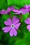Flores púrpuras de la primavera Prímula latina farinosa Fotografía de archivo libre de regalías