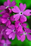 Flores púrpuras de la primavera Prímula latina farinosa Foto de archivo libre de regalías