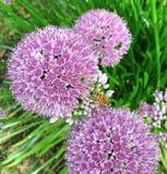 Flores púrpuras de la sensación del allium esférico Fotografía de archivo libre de regalías