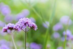 Flores púrpuras de la verbena Imagen de archivo libre de regalías