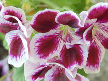 Flores púrpuras de la viola Imagen de archivo