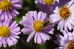 Flores púrpuras de los crisantemos con la abeja Imágenes de archivo libres de regalías
