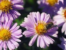 Flores púrpuras de los crisantemos con la abeja Foto de archivo