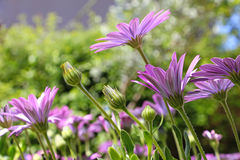 Flores púrpuras de Osteospermum imagen de archivo