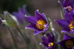 Flores púrpuras de Pascua Fotografía de archivo