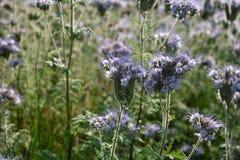 Flores púrpuras de Phacelia en el campo Fotografía de archivo libre de regalías