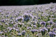 Flores púrpuras de Phacelia en el campo Foto de archivo libre de regalías
