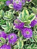 Flores púrpuras de Speciosa de las adiciones de Hebe Foto de archivo libre de regalías