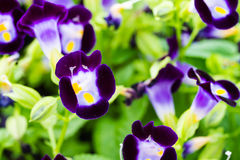 Flores púrpuras de Torenia Fotografía de archivo
