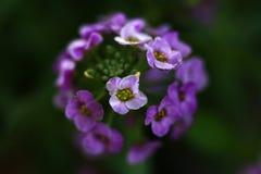 Flores púrpuras del Alyssum Imagenes de archivo