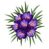 Flores púrpuras del azafrán Imagen de archivo
