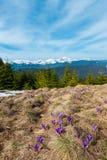 Flores púrpuras del azafrán en la montaña de la primavera fotografía de archivo