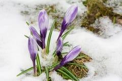 Flores púrpuras del azafrán en la nieve Foto de archivo libre de regalías