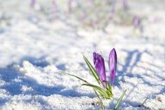 Flores púrpuras del azafrán en nieve Foto de archivo libre de regalías