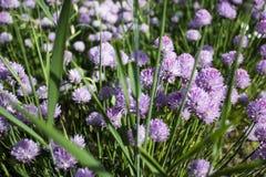 Flores púrpuras del campo Imagen de archivo libre de regalías