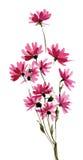 Flores púrpuras del campo de la acuarela en el fondo blanco Fotografía de archivo libre de regalías