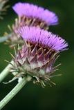 Flores púrpuras del cardo Imagen de archivo